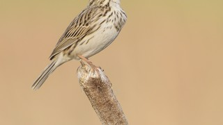 Savannah Sparrow, Hyde Park, Saskatoon, Saskatchewan