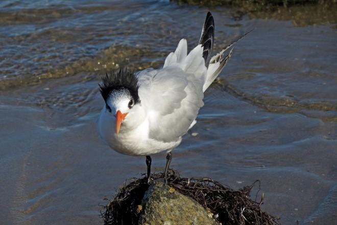 Elegant Tern standing on rock.