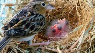 An adult Florida Grasshopper Sparrow tends to captive-bred chicks in the nest.