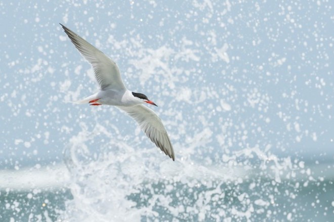 Forster's Tern in flight at the Indian River Inlet in Delaware.