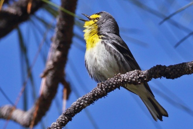 Grace's Warbler singing in the Chiricahua Mountains, Arizona.