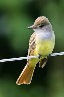 A Great Crested Flycatcher perches on a wire in Hoyt, New Brunswick.