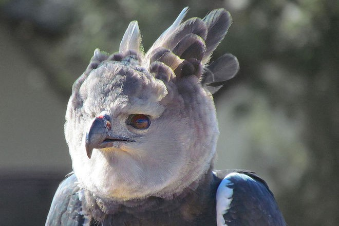 Harpy Eagle (captive), by Jitze Couperus (Wikimedia Commons).