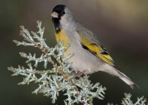 LAWRENCES-GOLDFINCH_MG_0028-POST2
