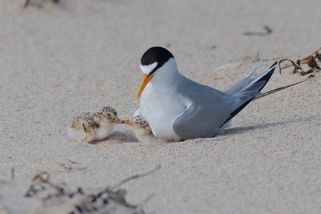 Least Tern with two fuzzy chicks at Sandy Point State Reservation in Massachusetts.