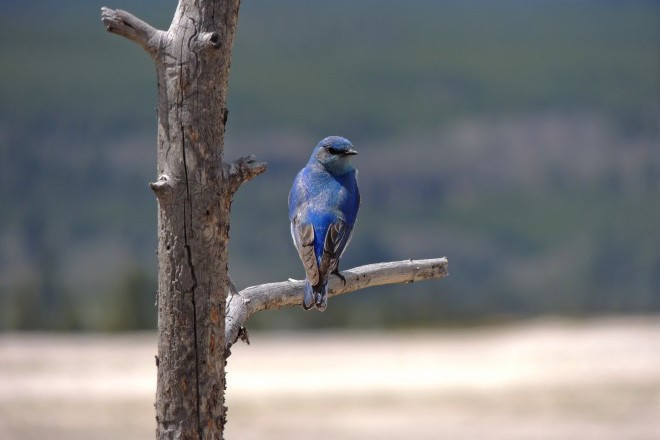 Mountain Bluebird Back_660x440