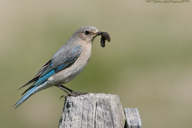 Mountain Bluebird Prey_660x440