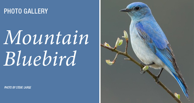 Mountain-Bluebird-rotator