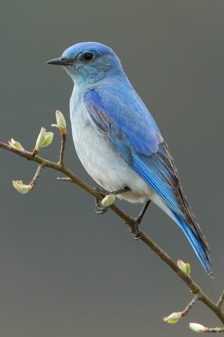 Mountain Bluebird_440x660