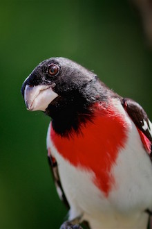 Close-up of a Rose-breasted Grosbeak, male, in the Blue Ridge Mountains, Virginia.