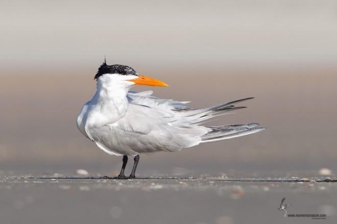 Royal Tern standing on Flagler Beach, north of Daytona Beach, Florida.