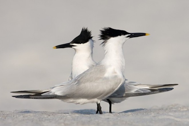 Sandwich Tern made bird news recently. This pair was at Fort De Soto Park, near St. Petersburg, Florida.