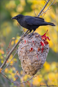American Crow, a predator of Common Nighthawk nests, stands on a hornet nest.