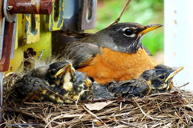 American Robins sit in a nest.