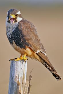 The recovery of Aplomado Falcon made bird news.