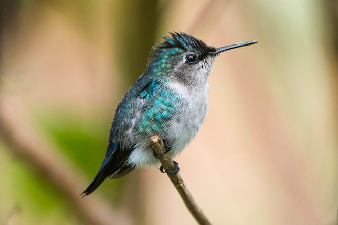 Bee Hummingbird, a Cuban endemic bird species, by Rich Wagner, WildNaturePhotos.
