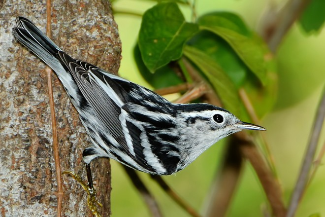 Black-and-white Warbler spends the winter on Puerto Rico.