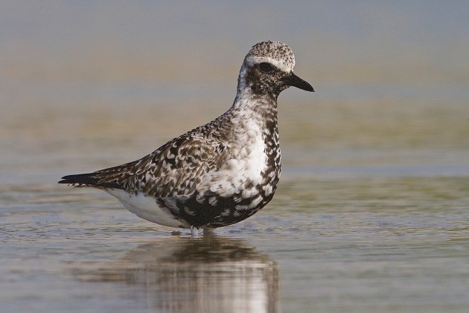 Black-bellied Plover (also known as Grey Plover) made bird news recently.