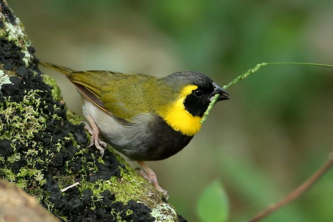 Cuban Grassquit, a Cuban endemic bird species, courtesy of Hal and Kirsten Snyder.