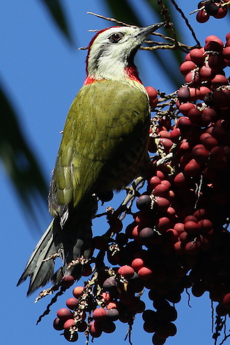 Cuban Green Woodpecker, a Cuban endemic bird species, courtesy Gary Markowski.