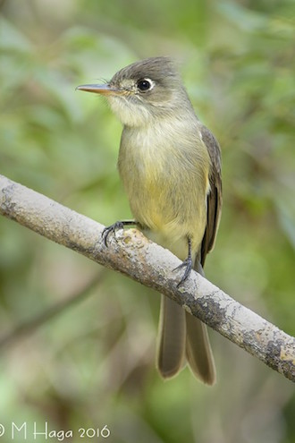 Cuban Pewee, a Cuban endemic bird species, on Cayo Santa Maria, Cuba, by mayhaga.