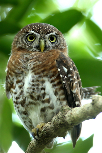 Cuban Pygmy-Owl, a Cuban endemic bird species, courtesy Gary Markowski.