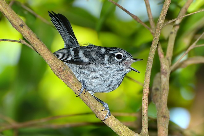 Elfin-woods Warbler by Guillermo J. Plaza.