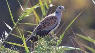 European Turtle Dove, by Revital Salomon (Wikimedia Commons).