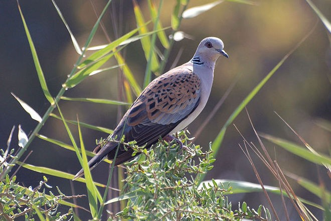 European Turtle Dove is a species of concern for the Champions of the Flyway bird race.