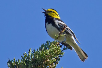Golden-cheeked Warbler sings from a shrub at Frederich Park in San Antonio, Texas.