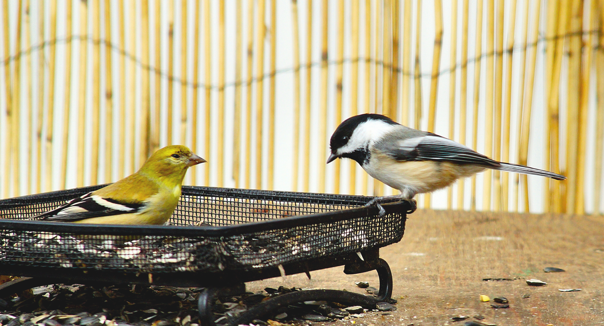 american goldfinch and black capped chickadee birdwatching