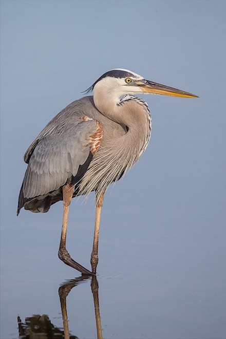 Bird photography: Great Blue Heron in Fort Myers Beach, Florida, April 12, 2015.