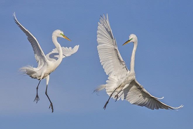 Bird photography: Great Egrets in Bradenton, Florida, March 13, 2015.