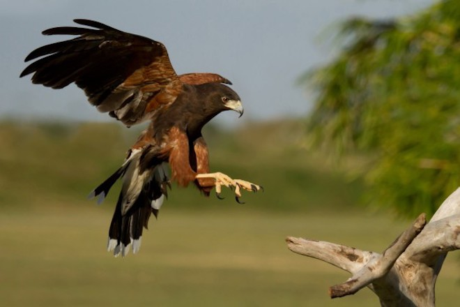 Harris's Hawk comes to a landing with wings outstretched.