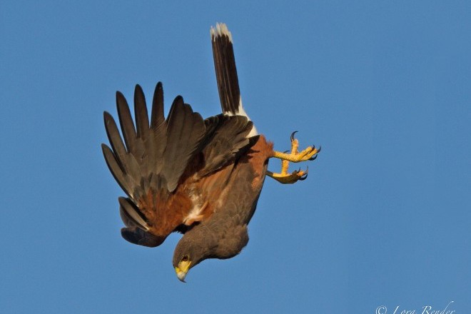 Harris's Hawk makes a nose dive against a clear blue sky.