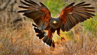Harris's Hawk Wings Spread_660x440