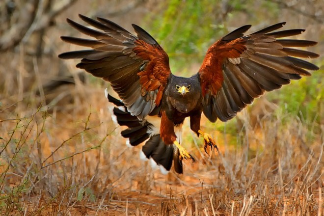 Harris's Hawk flies low with wing and tail feathers spread.