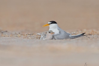 Least Terns nest on Flagler Beach, south of Jacksonville, Florida.