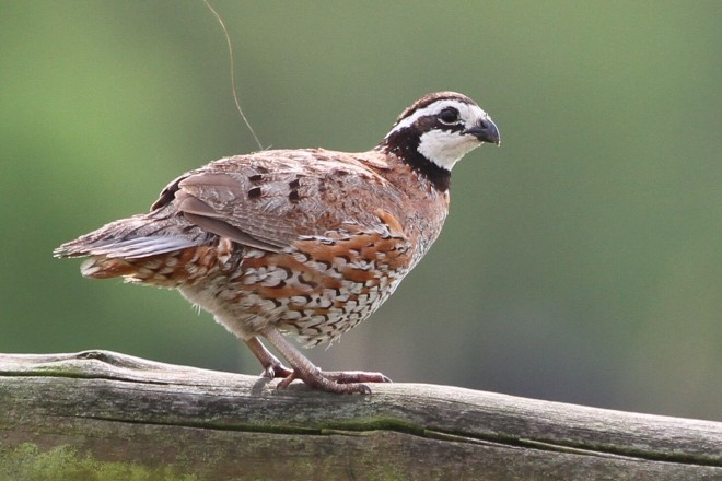 Northern Bobwhite stands to benefit from the grassland-restoration program.