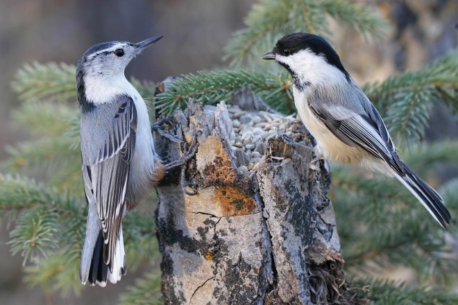 White Breasted Nuthatch And Black Capped Chickadee Are Common Backyard Birds .