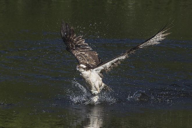 Bird photography: Osprey in Bradenton, Florida, March 14, 2015.