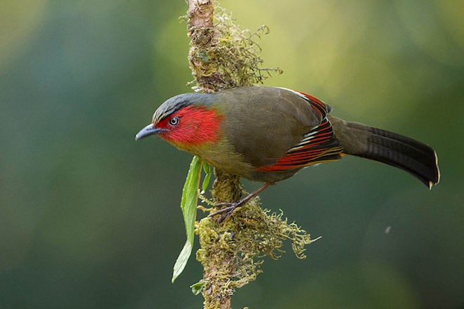 A Red-faced Liocichla clings to a mossy branch at Mai Fang, Doi Lang, Chiang Mai, Thailand.