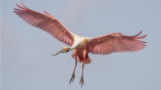 Roseate Spoonbill in Bradenton, Florida, March 5, 2015.