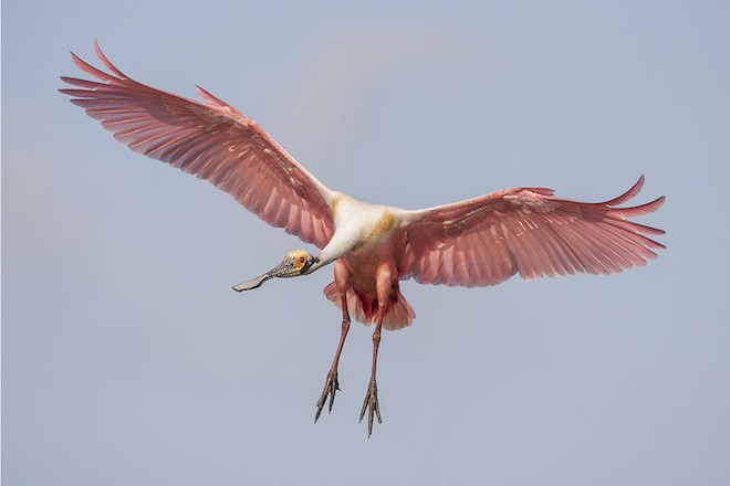 Bird photography: Roseate Spoonbill in Bradenton, Florida, March 5, 2015.