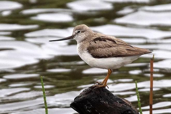 A Terek Sandpiper found in Belarus made bird news.