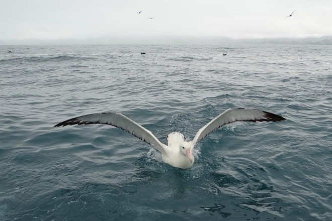 A Wandering Albatross, a bird of conservation concern, swims near Kaikoura, New Zealand, March 2014.