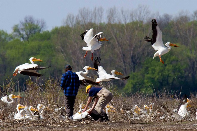 Researchers capture an American White Pelican at Marsh Lake, in western Minnesota. Photo by Carrol L. Henderson.