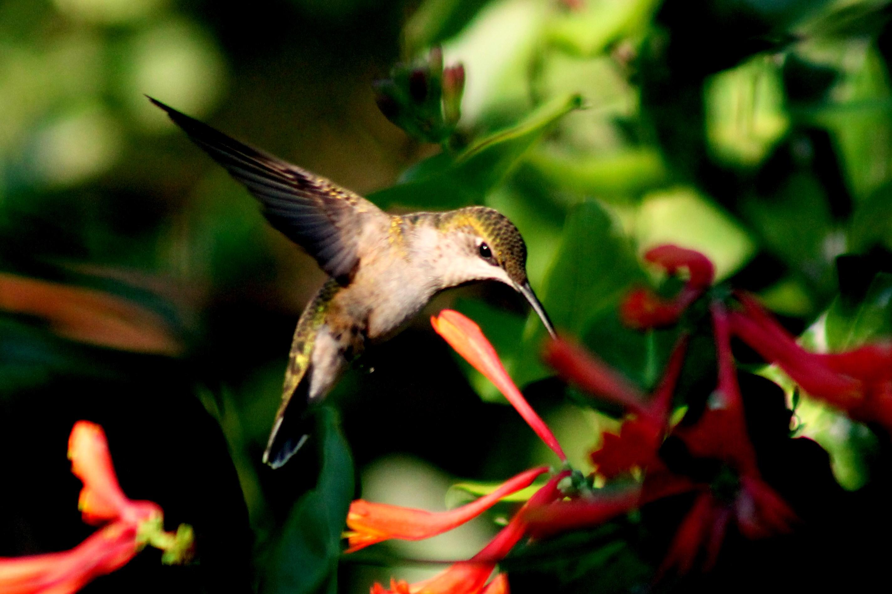 Ruby throated hummingbird baby - photo#20