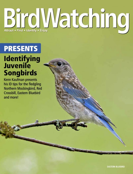 How to identify juvenile songbirds