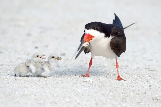 An adult Black Skimmer tends to its chicks.